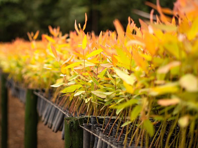 SINOBRAS Florestal investe em parcerias para melhoramento genético da produção do eucalipto